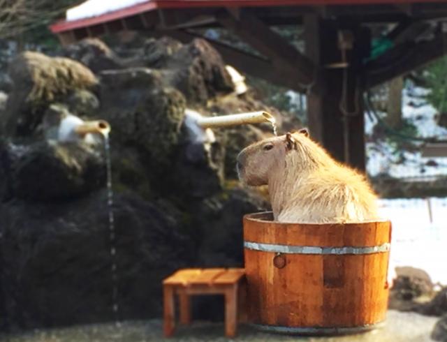 入浴するカピバラ